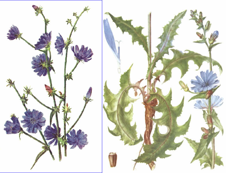 Ан нет.  Цикорий (лат.  Cichorium) - род двухлетних или многолетних трав...