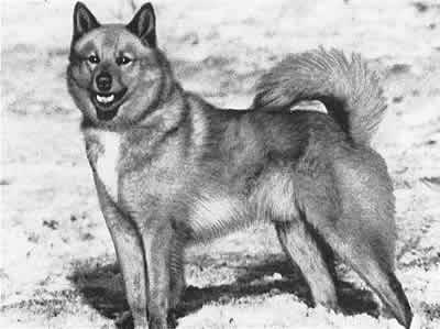 Карело-финская лайка - самая мелкая из отечественных охотничьих...
