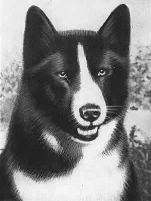Карельская медвежья лайка (Karelian Bear Dog).