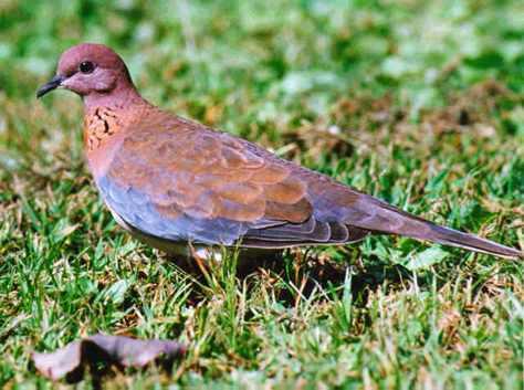 Птицы - Малая горлица - Питерский Охотник, сайт об охоте, форумы охота...